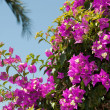 Flowering bougainvillea branch on the sky background — Stock Photo #24710769
