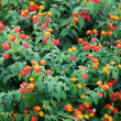 Flowering shrub - Lantana camara — Stock Photo