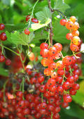 Ripe red currant in the garden — Stock Photo