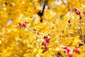 Cinorrodi selvaggi su bush in autunno — Foto Stock