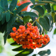 Ripe rowan berries on a branch — Stock Photo