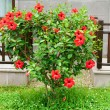 Hibiscus bush in front of house — Stock Photo #40195617