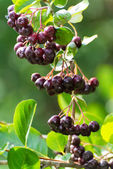 Black chokeberry on the branch — Foto Stock