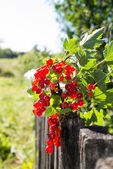 Sprig of red currants on a wooden fence — Stock Photo