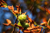 Autumn Chestnut — Stock Photo