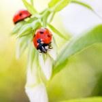 Ladybug resting on flower, — Stock Photo #18380829