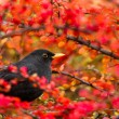 Common Blackbird (Turdus merula) - Stock Photo