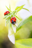 Ladybug resting on flower, — Stock Photo