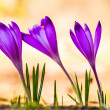 Crocus heuffelianus — Stock Photo
