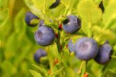 Ripe blueberry — Stock Photo