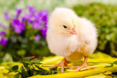 Beautiful little chicken — Stock Photo