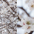 Blossoming almond — Stock Photo