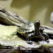 Turtle — Stock Photo #41046887