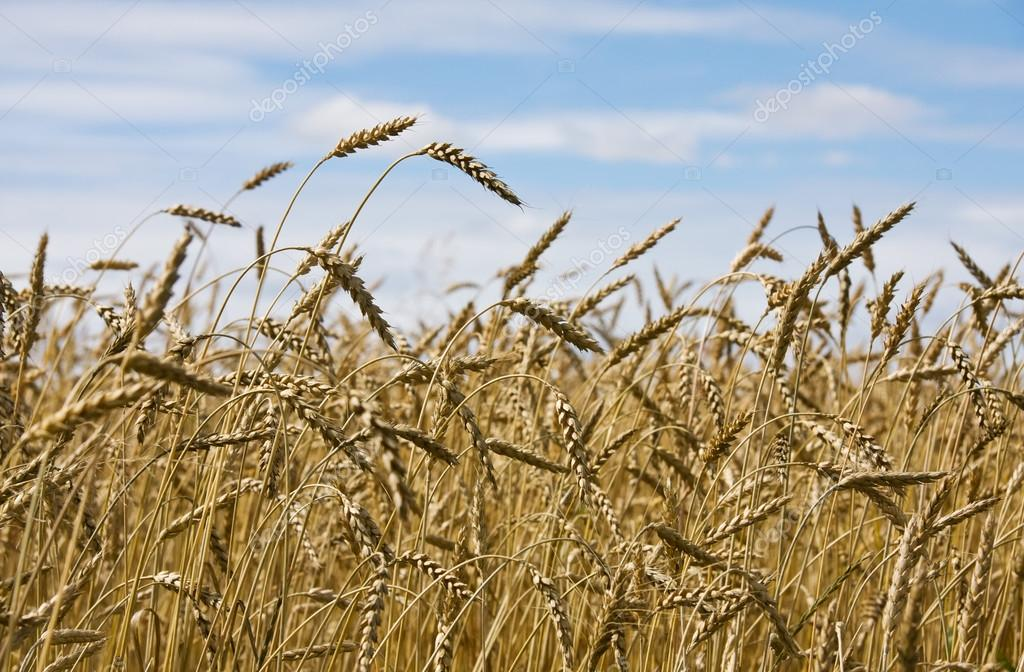 Ripe yellow wheat field against blue sky — Stock Photo #12426961