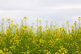 Oilseed rape field — 图库照片