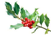 Holly tree branch isolated on white — Stock Photo