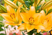 Orange Garden lily — Stock Photo