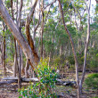 Australian Bush Scene. Eucalyptus Trees at Kelly Hill Conservati — Foto Stock