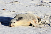 Australian Sea Lion, Seal Bay Conservation Park, Kangaroo Island — Stock Photo