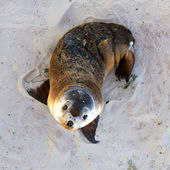 Young Australian Sea Lion Pup. Seal Bay Conservation Park, Kang — Stock Photo