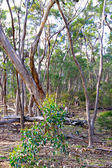 Australian Bush Scene. Eucalyptus Trees at Kelly Hill Conservati — Stock Photo