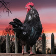Black cock sitting on the fence. rising of sun. — Stock Photo