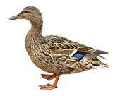 Female Mallard, standing in front of white background — Stock Photo