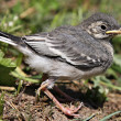 Nestling birds Wagtail. — Stock Photo