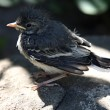 Stock Photo: Nestling birds Wagtail.