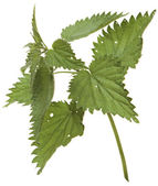 Branch nettle isolated on white background — Stock Photo