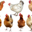 Set of chicken isolated on white. — Stock Photo #29856647