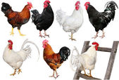 Set of chicken isolated on white. — Stock Photo