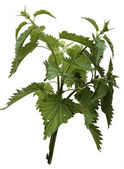 Nettle isolated on a white background. — Stock Photo