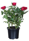 Red roses in a flower-pot — Stock Photo
