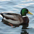 Mallard Duck on the water . (Anas platyrhynchos) relaxing in pond — Stock Photo