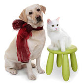 White Angora cat and dog of breed Labrador Retriever. — Stock Photo