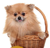 Dog Small . Photography Studio On A White Background. — Stock Photo