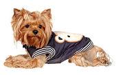 小型犬。白い背景の上の写真スタジオ. — ストック写真