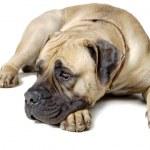 Dog Is Large Breed. Photography Studio On White Background. — Stock Photo #37736091