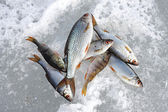 River fish lies on snow. Winter fishing — Stock Photo