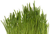 Fresh Green Grass with Drops Dew / isolated on white with copy space — Stock Photo