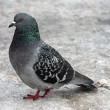 Single pigeon walking. Portrait of Rock Dove — Stock Photo
