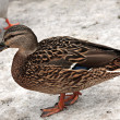 Female Mallard Duck. Closeup of  drake, standing in snow . — Stock Photo #41264801