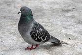 Single pigeon walking. Portrait of  Rock Dove — Stock Photo