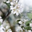 Dazzling white flower blossoms with pink unopened bud adorn crab apple tree branch in spring. — Stock Photo #48277495