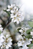 Dazzling white flower blossoms with pink unopened bud adorn crab apple tree branch in spring. — Stock Photo