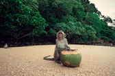 Monkey and coconut. — Stock Photo