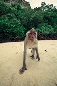 Funny monkey. — Stok fotoğraf