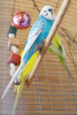 Blue budgerigar sitting in the cage — ストック写真