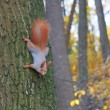 Foto Stock: Eurasired squirrel on tree trunk in autumn forest.